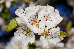 Beautiful spring flowers. Blossom detail with raindrops Royalty Free Stock Photos