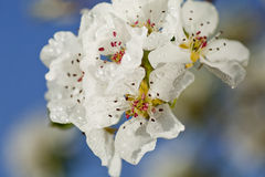 Beautiful spring flowers. Blossom detail with raindrops Royalty Free Stock Image