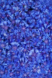 Beautiful spring flowers blue cornflower Stock Images