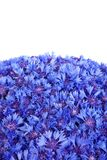 Beautiful spring flowers blue cornflower Royalty Free Stock Photography