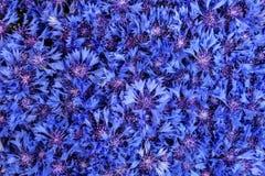 Beautiful spring flowers blue cornflower on background. Blue flo Royalty Free Stock Photos
