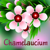 Beautiful spring flowers Chamelaucium. Cards or your design with space for text. Vector Royalty Free Stock Image