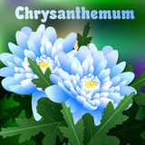 Beautiful spring flowers chrysanthemum. Cards or your design with space for text. Vector Royalty Free Stock Photo
