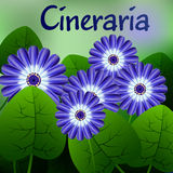 Beautiful spring flowers Cineraria. Cards or your design with space for text. Vector Stock Photography