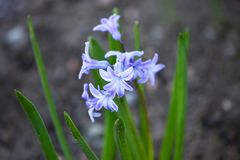 Beautiful spring flowers common hyacinth, garden hyacinth or dutch hyacinth hyacinthus orientalis is widely cultivated everywher. E for its fragrant flowers stock photo