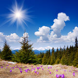 Beautiful spring flowers in the mountains Royalty Free Stock Image