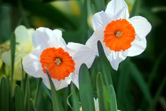 Beautiful spring flowers daffodils Royalty Free Stock Photo
