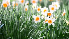 Beautiful spring flowers. Field of White Daffodils on a windy sunny day stock footage