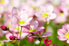 Beautiful spring flowers,floral background Royalty Free Stock Photo