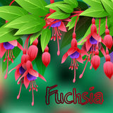 Beautiful spring flowers Fuchsia. Cards or your design with space for text. Vector Stock Photos