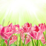Beautiful spring flowers greeting card Royalty Free Stock Photography