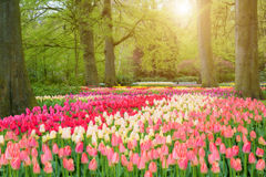 Beautiful spring flowers in Keukenhof park in Netherlands.  Stock Photo