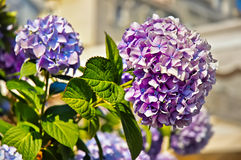 Beautiful spring flowers lilac Royalty Free Stock Photo