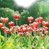 Beautiful Spring Flowers Lit by Sun Royalty Free Stock Image
