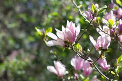 Beautiful spring flowers magnolia blossoming over blurred nature background, selective focus.  royalty free stock photos
