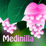 Beautiful spring flowers Medinilla. Cards or your design with space for text. Vector Stock Photography
