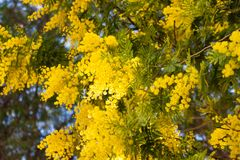 Branches of Mimosa tree blossom in spring time. Beautiful spring flowers on mimosa tree branch acacia dealbata on background of green foliage and blue sky royalty free stock photo