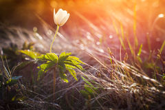 Beautiful spring flowers  in the mountains. Beautiful spring flowers  in the mountains, glowing by sunlight Stock Photo
