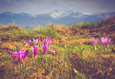 Beautiful spring flowers  in the mountains. Royalty Free Stock Photography