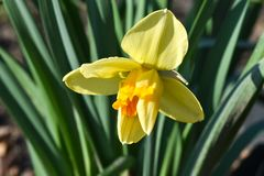 Beautiful spring flowers narcissus jonquilla, jonquil, rush daffodil. Is a bulbous flowering plant royalty free stock image