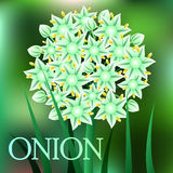 Beautiful spring flowers Onion. Cards or your design with space for text. Vector Royalty Free Stock Photos