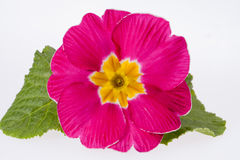 Beautiful  spring flowers of pink primula close up Royalty Free Stock Image