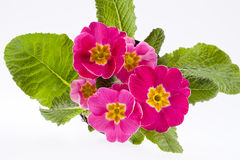 Beautiful  spring flowers of pink primula -close up Stock Photography