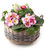 Beautiful spring flowers in planting bowl isolated Royalty Free Stock Images