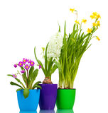 Beautiful spring flowers in pots. Over the white Stock Photos