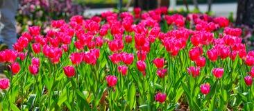 Beautiful spring flowers red tulip. Beautiful spring season flowers red tulip in garden Stock Photos