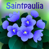Beautiful spring flowers Saintpaulia. Cards or your design with space for text. Vector Stock Images