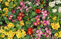 Beautiful spring flowers for sale at street market. Stock Photos