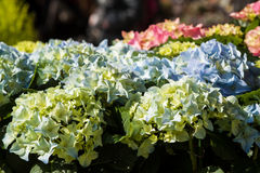 Hydrangeas at market Royalty Free Stock Photos