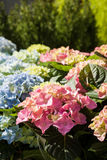 Hydrangeas at market Stock Photo