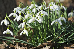 Beautiful spring flowers snowdrops, Galanthus nivalis. Royalty Free Stock Images