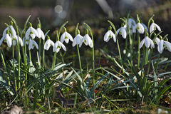 Beautiful spring flowers snowdrops, Galanthus nivalis. Stock Images