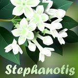 Beautiful spring flowers stephanotis. Cards or your design with space for text. Vector Stock Photo