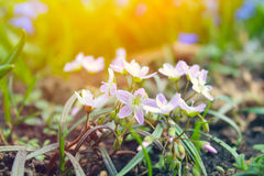 Beautiful spring flowers with sunlight Royalty Free Stock Photo