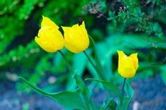 Beautiful spring flowers tulip Stock Image