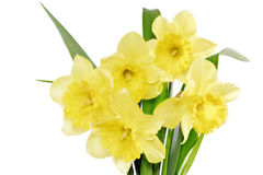 Beautiful spring flowers in vase: yellow  narcissus (Daffodil) Royalty Free Stock Photography