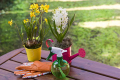Beautiful spring flowers in watering cans Royalty Free Stock Photo