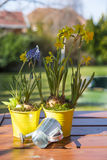 Beautiful spring flowers in watering cans Stock Photos