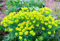A beautiful spring flowers of yellow stock photo
