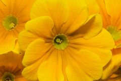 Beautiful  spring flowers of yellow primula -close up Stock Images