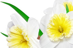Free Beautiful Spring Flowers : Yellow-white Narcissus (Daffodil) Royalty Free Stock Images - 30094789