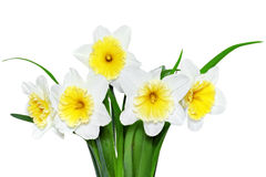Beautiful spring flowers : yellow-white narcissus (Daffodil) Stock Images
