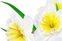 Beautiful spring flowers : yellow-white narcissus (Daffodil) Royalty Free Stock Photo