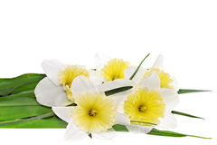 Beautiful spring flowers : yellow-white narcissus (Daffodil) Royalty Free Stock Images