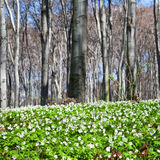 Beautiful spring forest Stock Photography