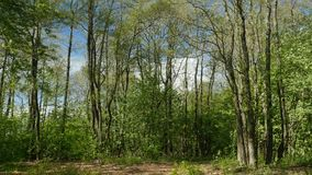 Beautiful spring forest landscape. On a sunny day, zoom out stock video